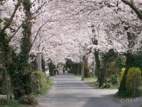[写真]南桜通り