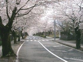 [写真]北桜通りの「桜のトンネル」風景