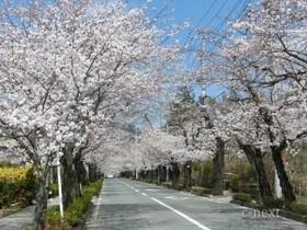 [写真]長瀞の桜並木