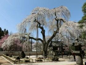 [写真]清雲寺のしだれ桜