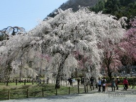[写真]桜色に包まれる清雲寺