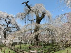 [写真]天然記念物のしだれ桜