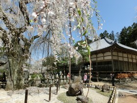 [写真]しだれ桜と本堂
