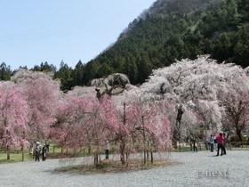 [写真]清雲寺の桜