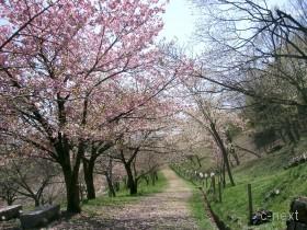 [写真]長瀞・宝登山麓「通り抜けの桜」