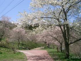 [写真]桜の坂道