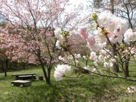 [写真]通り抜けの桜