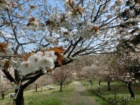 [写真]桜の道