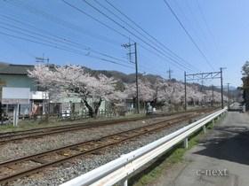 [写真]駅南側の線路沿いの桜並木