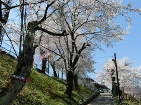 [写真]駅入口から見た桜の季節の坂道