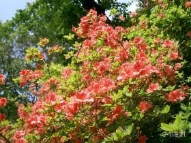[写真]つつじの花