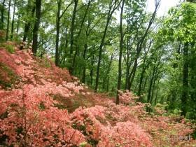[写真]林の中のヤマツツジ