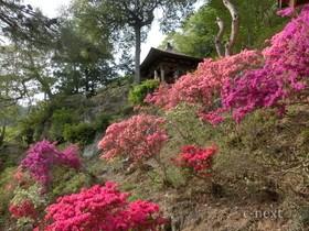 [写真]つつじの咲く米山薬師