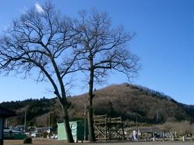 [写真]椋神社のシンボル「夫婦クヌギ」
